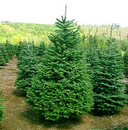 Как сохранить свежесть новогодней елки